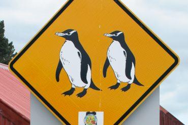 Blue Penguins at Oamaru
