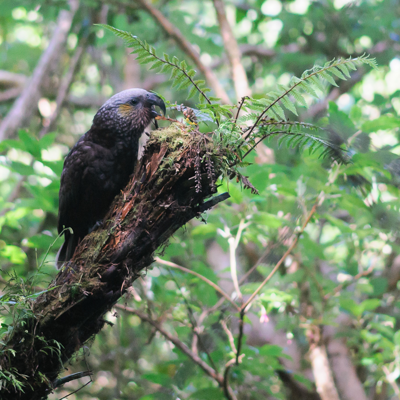 The Kakas of Stewart Island