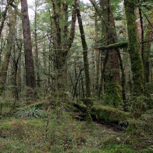 Southern Beech forest in Fiordland