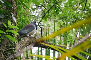 New Zealand Pigeon at Grove Scenic Reserve
