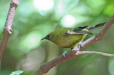 Bellbird Chorus